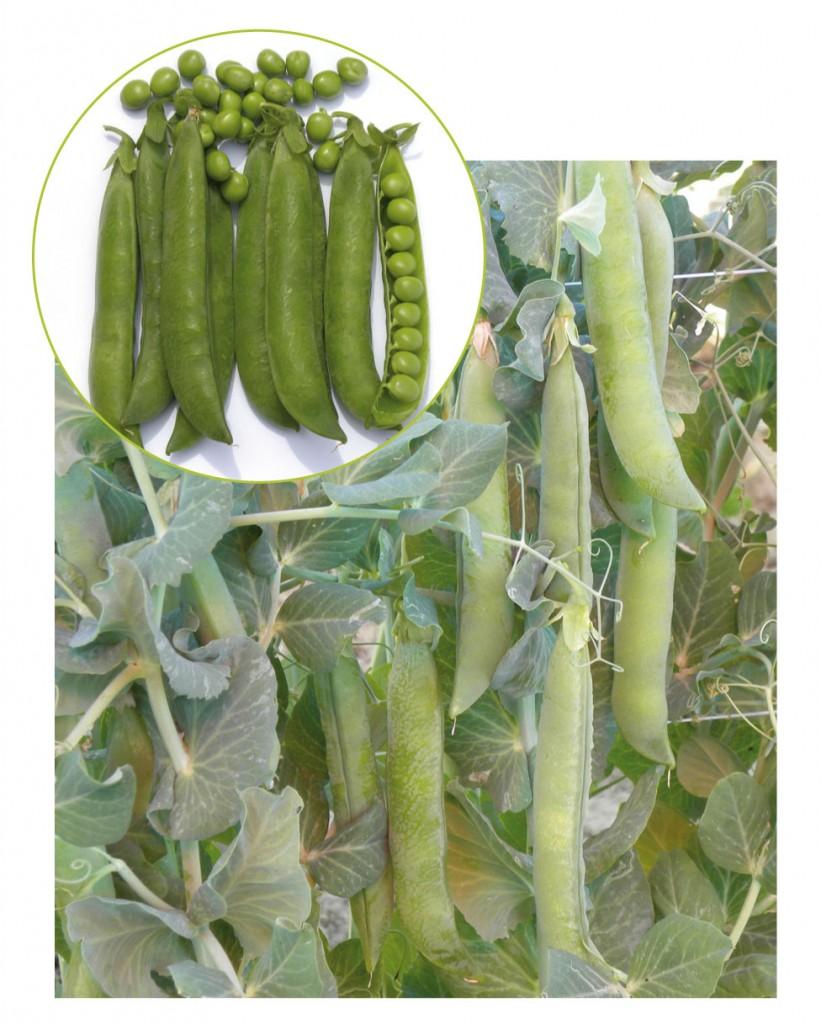 foglione brochure legumi