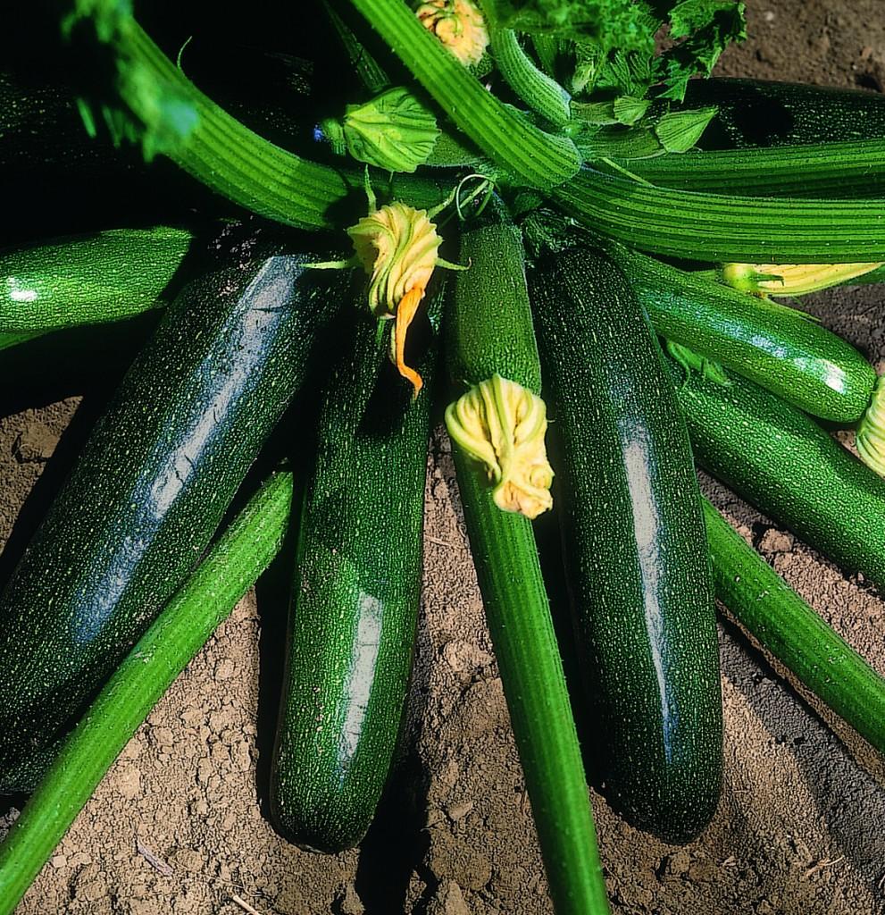 litobm zucchino